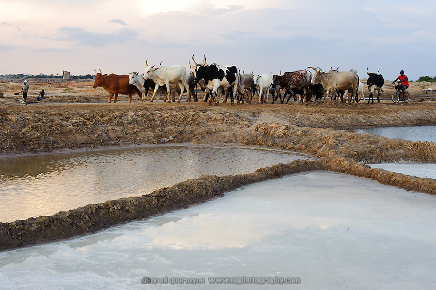 "In addition to encroachment through the creation of ""atsiakpo"" pans on their concession by members of neighbouring communities, representatives of the Ada Songor Salt Project cite the contamination of their pans by livestock as a concern."