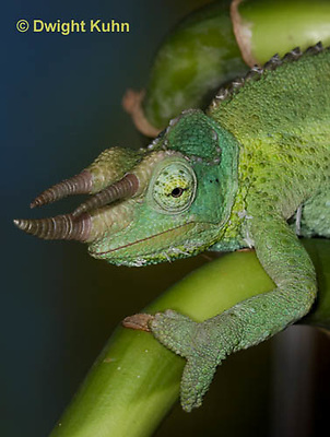 CH35-538z  Male Jackson's Chameleon or Three-horned Chameleon, close-up of face, eyes and three horns, Chamaeleo jacksonii
