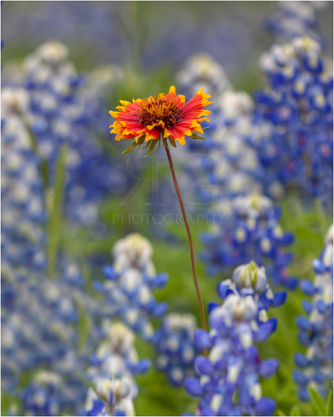 In a sea of bluebonnets, this lone firewheel stood tall. While I love capturing wide angles of vast landscapes of wildflowers each spring in Texas, I also enjoy these more intimate scenes, as well.