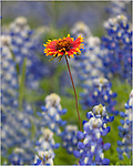 A single Indian Blanket surrounded by a field of Texas Bluebonnets.