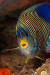 Regal or royal angelfish (Pygoplites diacanthus) North Raja Ampat, West Papua, Indonesia