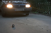 Igel überquert in der Dämmerung eine Straße, Gefahr durch Auto, Straßenverkehr, Europäischer Igel, Westigel, Braunbrustigel, Erinaceus europaeus, Western hedgehog, Hérisson d`Europe de l`Ouest