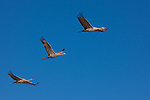 Sandhill cranes in flight, Bosque Del Apache National Wildlife Refuge, New Mexico, USA