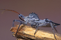 398008006 a wild wheel bug arilus cristatus sits on an old log in the rio grande valley in south texas