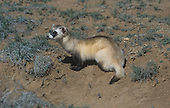 Black-footed Ferret (Mustela nigripes), a highly endangered species, Western USA.