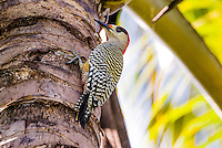 The West Indian Woodpecker (Melanerpes superciliaris) is common in Cuba.