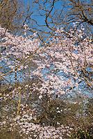 Magnolia x loebneri 'Leonard Messell'