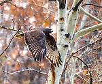A Harris Hawk flies in front of an aspen tree.