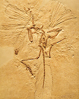 FOSSILS<br /> Archaeopteryx Fossil In Fossilized Sandstone<br /> Archaeopteryx lithographica. Believed to be one of the first bird species to have evolved from the dinosaurs about 150 million years ago.  Specimen from Oxford University Museum