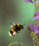Buff Tailed Bumble Bee, Bombus terrestris, in flight, free flying through flowers collecting pollen, high speed photographic technique, pollen sac s on legs.United Kingdom....