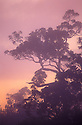 Ohia trees and fog at sunset in native Hawaiian tree species tropical rainforest at Kokee State Park, Kauai, Hawaii.