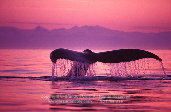 mi701. Humpback Whale (Megaptera novaeangliae) tail flukes at sunset. Alaska, USA, Pacific Ocean..Photo Copyright © Brandon Cole. All rights reserved worldwide.  www.brandoncole.com..This photo is NOT free. It is NOT in the public domain. This photo is a Copyrighted Work, registered with the US Copyright Office. .Rights to reproduction of photograph granted only upon payment in full of agreed upon licensing fee. Any use of this photo prior to such payment is an infringement of copyright and punishable by fines up to  $150,000 USD...Brandon Cole.MARINE PHOTOGRAPHY.http://www.brandoncole.com.email: brandoncole@msn.com.4917 N. Boeing Rd..Spokane Valley, WA  99206  USA.tel: 509-535-3489