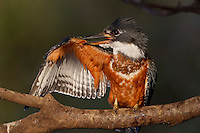 Ringed Kingfisher (Megaceryle torquata), Pantanal, Brazil