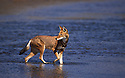 Ethiopian wolf crossing Web river. Bale mountains. Ethiopia.