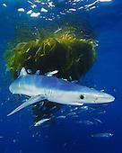 Blue Shark (Prionace glauca) pup with school of Jack Mackerel (Trachurus symmetricus) under drifting Kelp paddy, San Diego, California, USA.