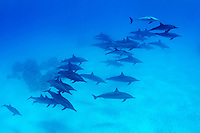 Stenella longirostris, Spinner Delphin, Schule von Delphine im Nationalpark Wadi Gimal unter wasser, Spinner Dolphin, School of Dolphins in National park Wadi Gimal under water, Rotes Meer, Ägypten, Marsa Alam, Wadi Gimal Nationalpark, Rotes Meer, Ägypten, Red Sea Egypt