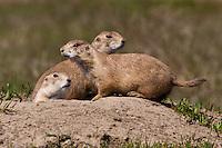 Trio of Black-tailed Prairie Dogs