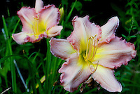 Day lily flowers during the summer.