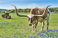 These horn take up most of the image with the Longhorn stear walking into a bluebonnet field.  This particular longhorn was very friendly and was trying constantly to get Cynthia to visit, but those horns can be quite itimidating,not that they would intentionaly hurt you but they move those head around fast and with those head comes those horns.   This guy came up to the fence several times for  a visit. Mostly likely hoping for a snack.
