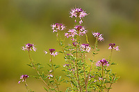 105930002 a wild growing rocky mountain beeplant wildflower cleome serrulata along a trail in southern utah