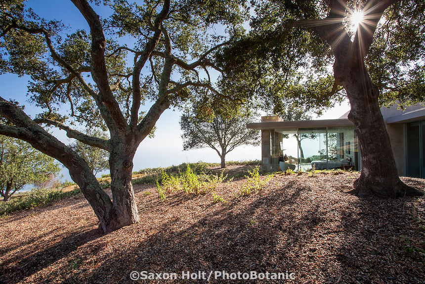 Modern glass home sited among native Oak landscape in afternoon sunlight, California native plant garden, Santa Barbara,