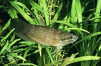 Maulbrütender Kampffisch, Penang-Betta, Betta pugnax, Macropodus pugnax, Betta macrophthalma, Betta brederi, Penang betta