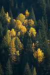 Golden aspens in the fall in north Idaho