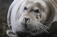 Bearded seal, Erignathus barbatus, Flatanger, Nord-Trondelag, Norway