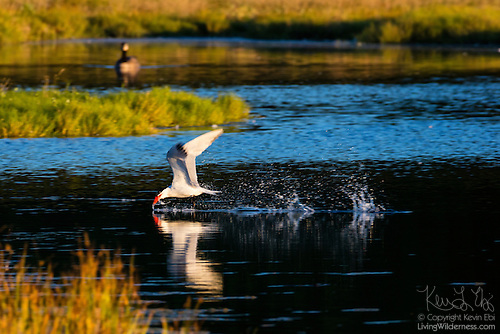 Caspian Tern Hunting, Edmonds Marsh, Washington