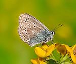 Common Blue, Polyommatus icarus, resting on Birds Foot Trefoil flower.United Kingdom....