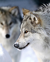 Wolves, Montana