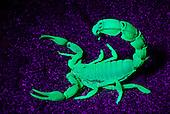 Desert Scorpion (Androctonus australis) fluorescing under UV light in the dark.