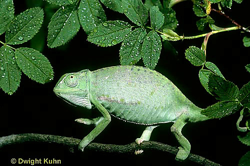 CH23-048z  African Chameleon - puffed up male,  warning off intruder, curled tail - Chameleo senegalensis