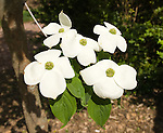 Washington DC; USA: Dogwood in bloom at George Washington's historic estate at Mount Vernon.Photo copyright Lee Foster Photo # 35-washdc80320