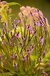Blue Vervain, Verbena hastata<br />