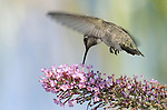 "Anna's Hummingbird.""Calypte anna"" on a Butterfly Bush..Stevenson Ranch, Ca. June 17, 2008. Fitzroy Barrett"