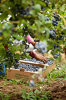 Farm worker harvesting fresh ripe blueberries 'Elliot' for field pack, VIridian Farms, Oregon