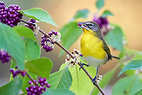 Yellow-breasted Chat eating American Beauty Bush berry.