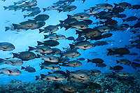 RH0221-D. Black Snapper (Macolor niger), large school along reef wall at 18 meters deep. Palau, Pacific Ocean.<br /> Photo Copyright &copy; Brandon Cole. All rights reserved worldwide.  www.brandoncole.com