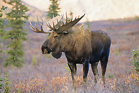 Bull moose, autumn, Denali National Park, Alaska