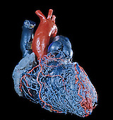 Resin cast of the human heart and its circulatory system, anterior view.