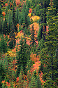 Vine Maple and conifers in Autumn, Umpqua National Forest on Rhododendron Ridge along FS Road #28, Cascade Mountains, Oregon.