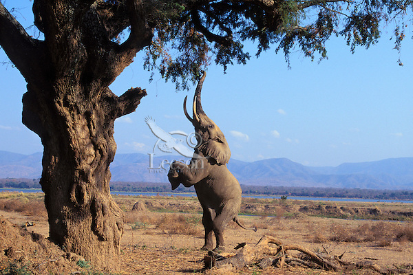Huge African Elephant Bull In The Ngorongoro Crater, Tanzania ...