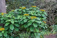 Telanthophora grandifolia Giant Groundsel, large leaf shrub in Mesoamerican Cloud Forest section of San Francisco Botanical Garden