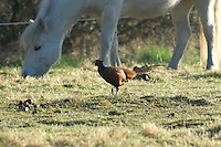 A male pheasant (phasianus colchicum) crossing the pony's pasture on the daily morning inspection tour.<br />
