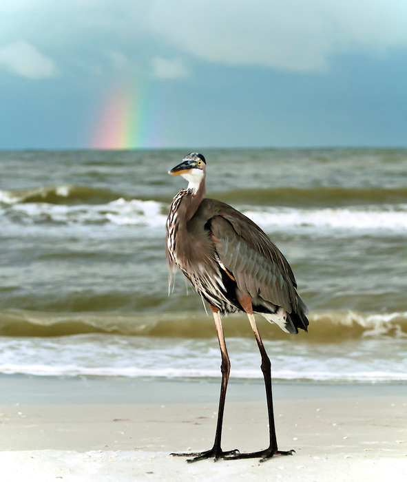 Great Blue Heron Doesn't Realize I'm Really Looking at the Rainbow - at Fort Myers Beach, Florida