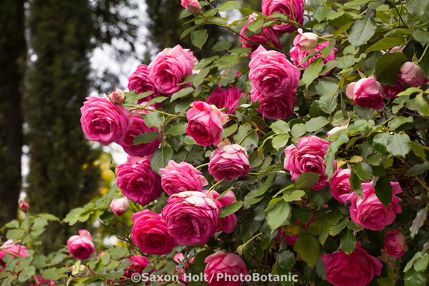 Star Roses - Pretty in Pink Eden