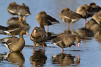 537260013 wild  greater white-fronted geese anser albifrons at colusa national wildlife refuge califonia
