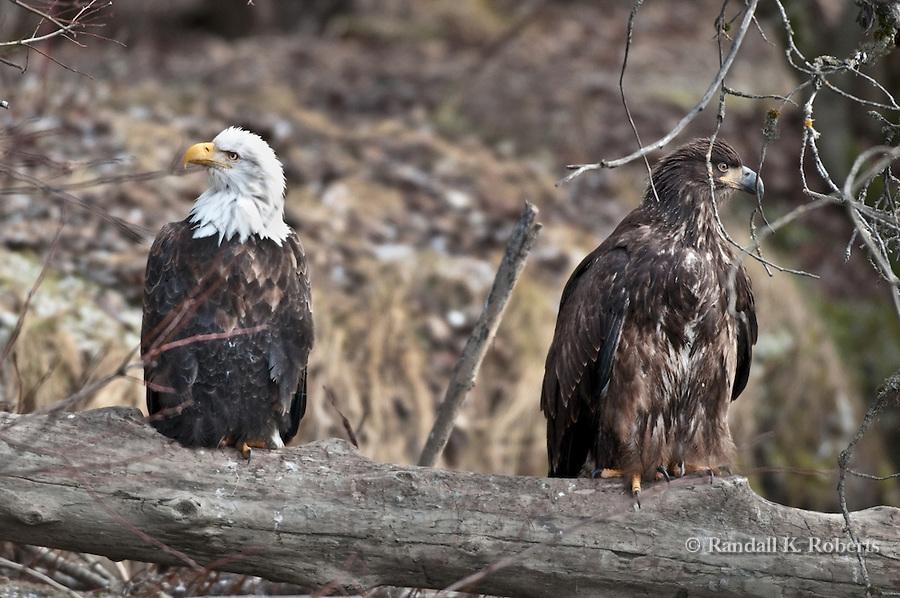 Mature and immature bald eagles share a log, Chilkat Bald Eagle Preserve, Haines, Alaska