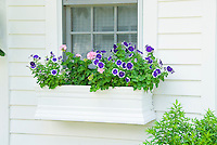 Windowbox garden container of petunias and geraniums annual flowers against white house